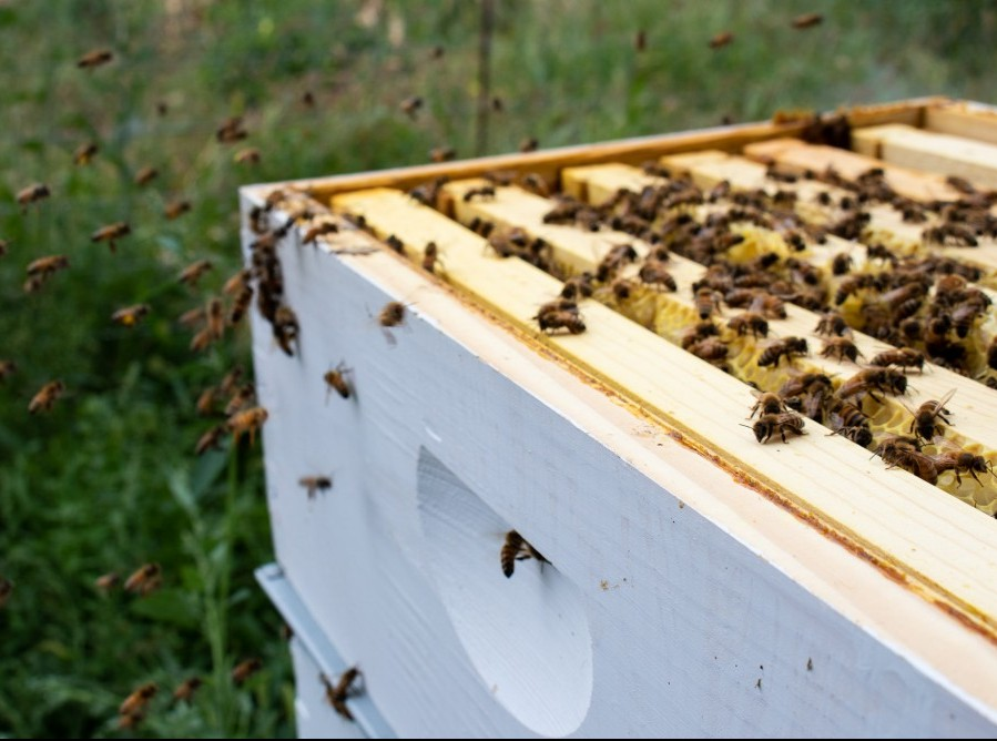 Honeybees flying around their hive.
