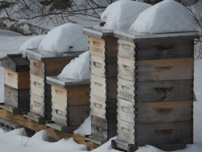 Honeybees in the winter