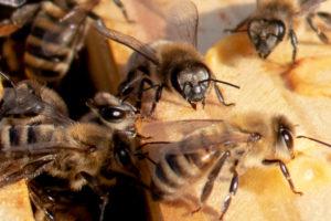 Queen exluder, honeybees